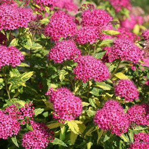 Spiraea 'Double Play Painted Lady'