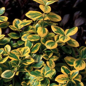 Euonymus 'Gold Splash'