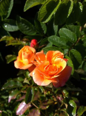 Rose 'Flower Carpet Amber'