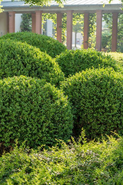 Boxwood 'Green Mound'
