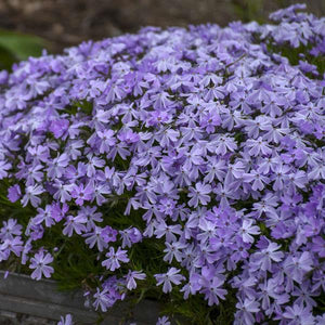Phlox 'Emerald Blue'
