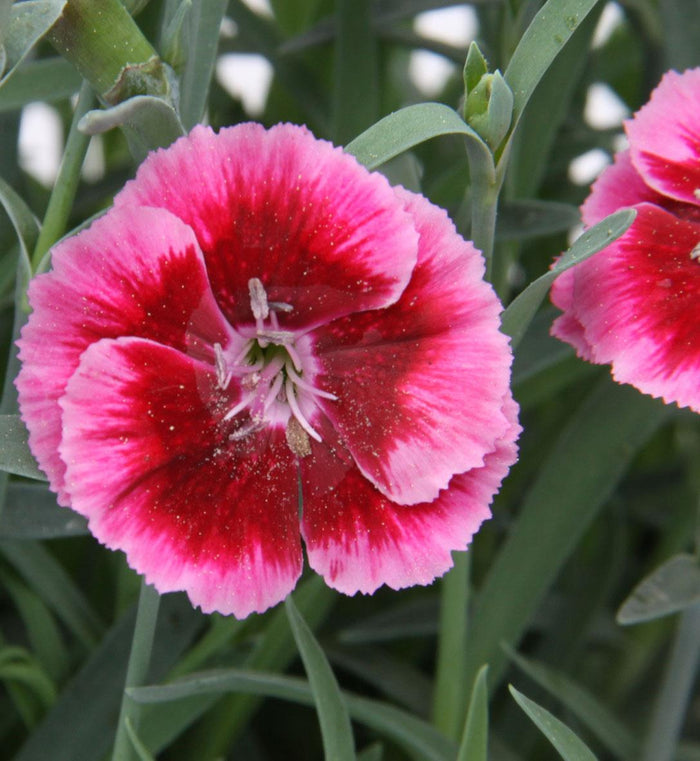 Dianthus 'Everlast Raspberry Cream'