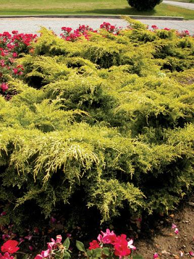 Juniper 'Gold Lace'