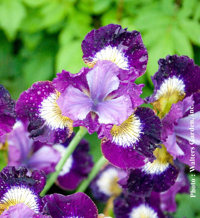 Iris 'Contrast in Style'