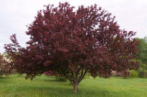 Crabapple 'Royalty'