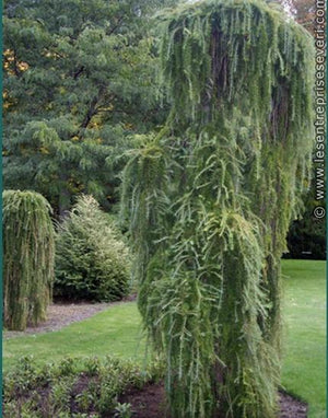 Larch 'Weeping'