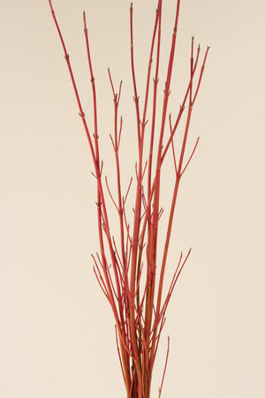 Dogwood - Red