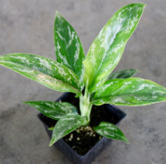 Aglaonema 'Chinese Evergreen'