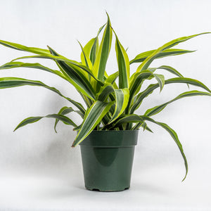 "Dracaena 'Goldstar' || 6"" pot"
