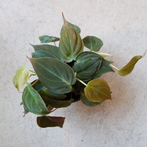 "Philodendron micans || 4"" pot"