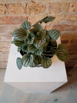 6 Growers Pot Peperomia caperata /'Frost/'