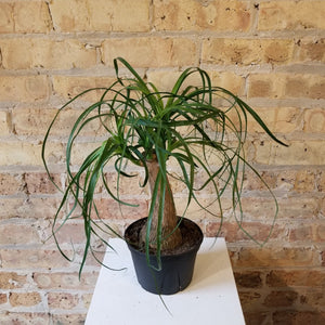 "Beaucarnea recurvata, Ponytail Palm || 6"" pot"