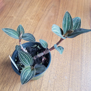 "Ludisia discolor, Black Jewel Orchid || 4"" pot"