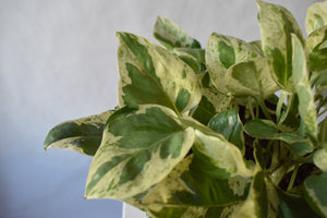 "Epipremnum aureum 'Pearls and Jade', Pearls and Jade Pothos || 6"" pot"