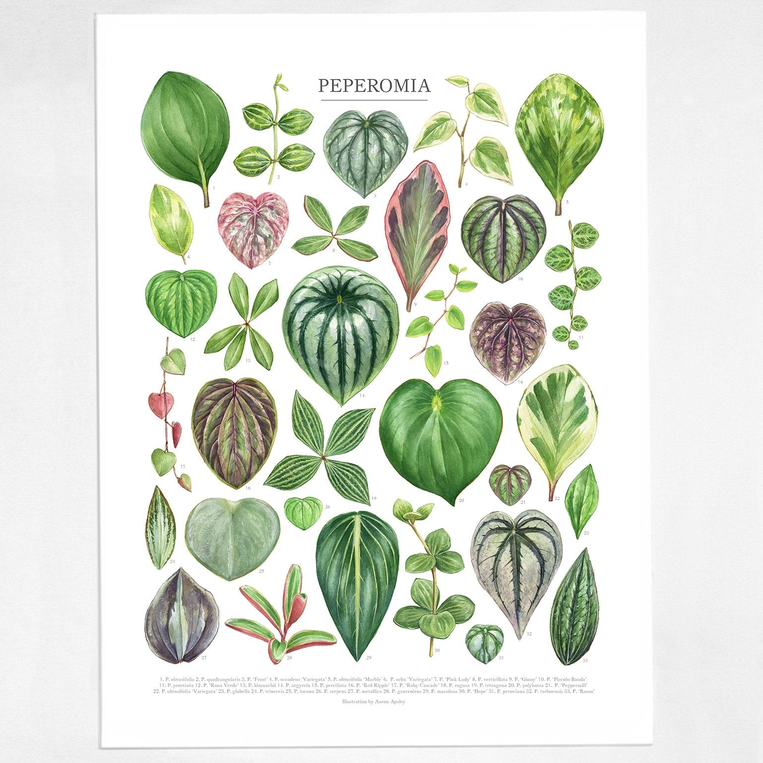 Aaron Apsley Botanical Watercolor -- Peperomia Species Print