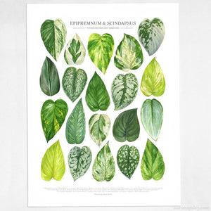 Aaron Apsley Botanical Watercolor -- Epipremnum and Scindapsus Varieties Print