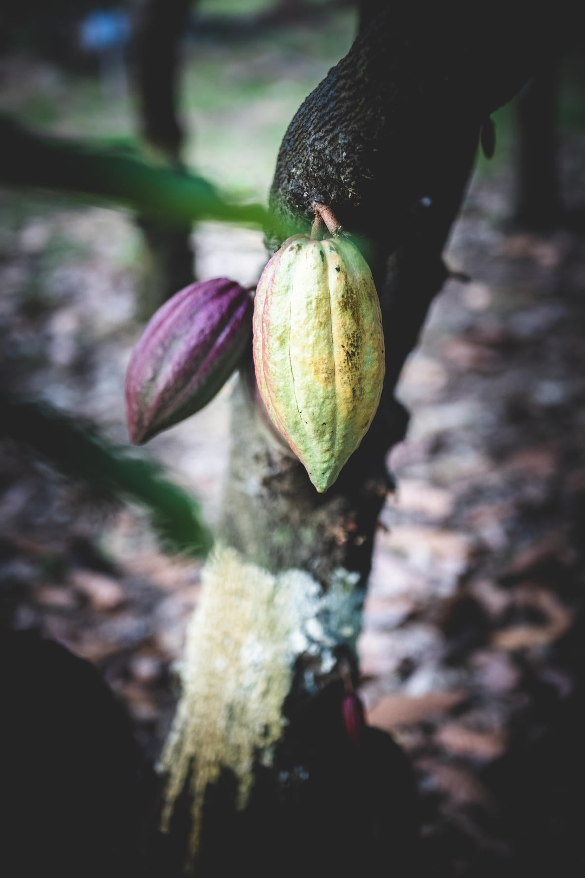 image cacao