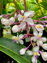 Load image into Gallery viewer, Malaysian Orchid