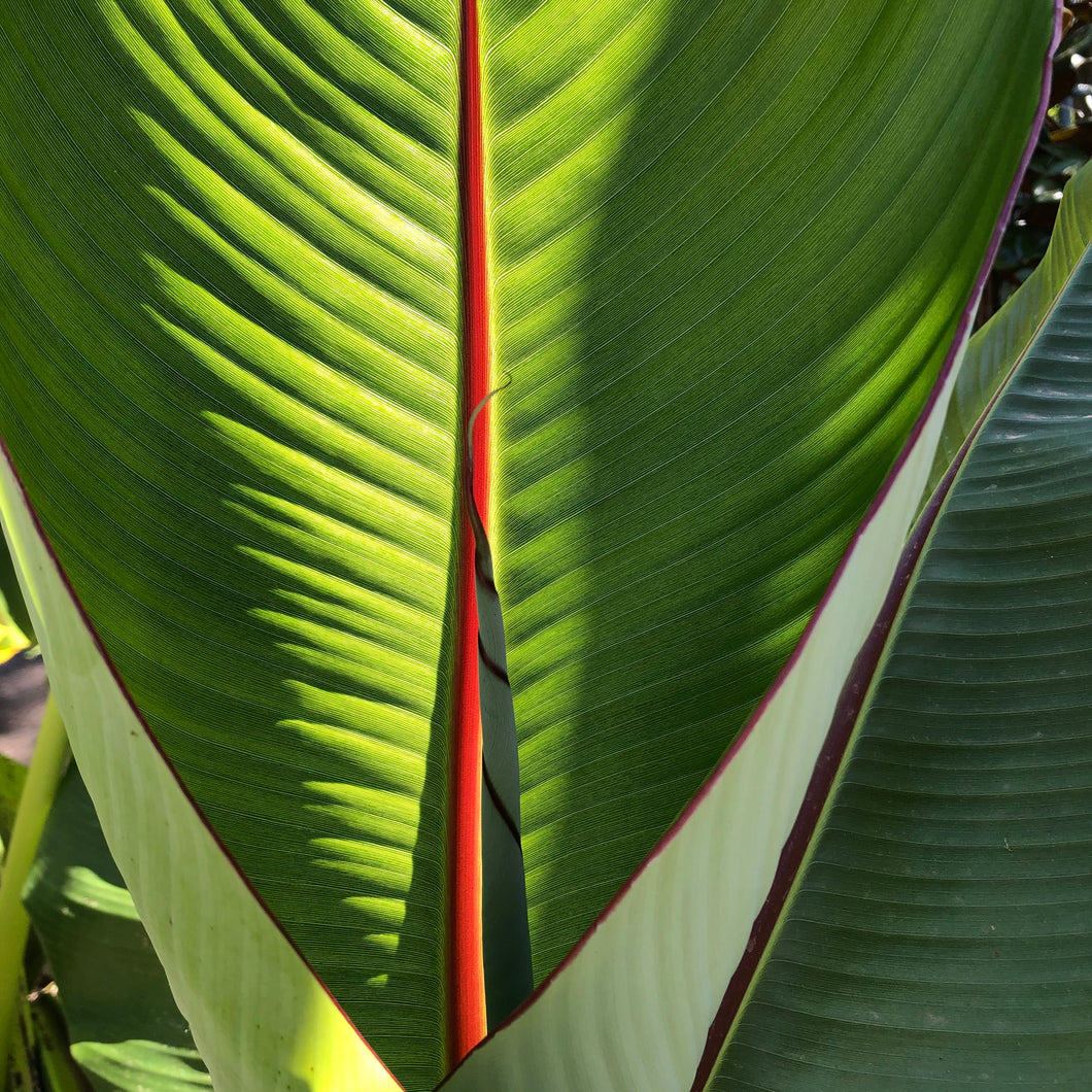 Abyssinian Banana Palm