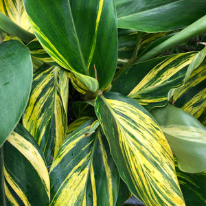 Shell Ginger - Variegated