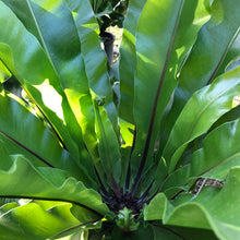 Load image into Gallery viewer, Birds Nest Fern