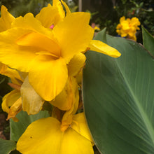 Load image into Gallery viewer, Canna Lily