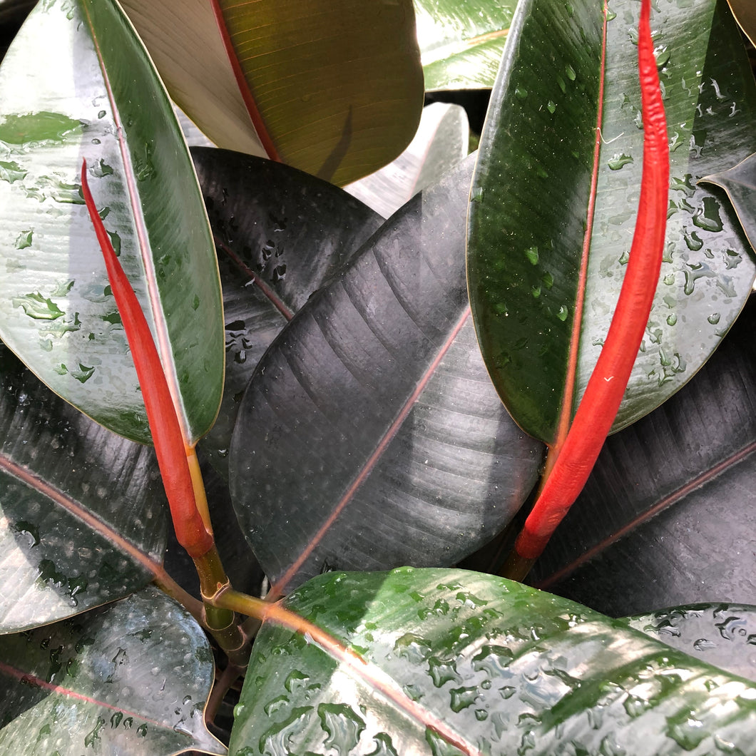 Rubber Plant 'Burgundy'