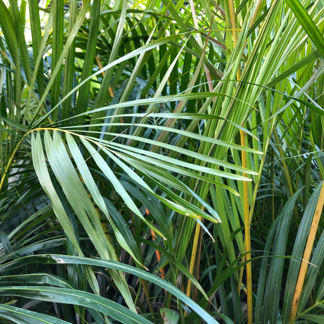 Golden Cane Palm