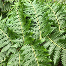 Load image into Gallery viewer, Australian Tree Fern