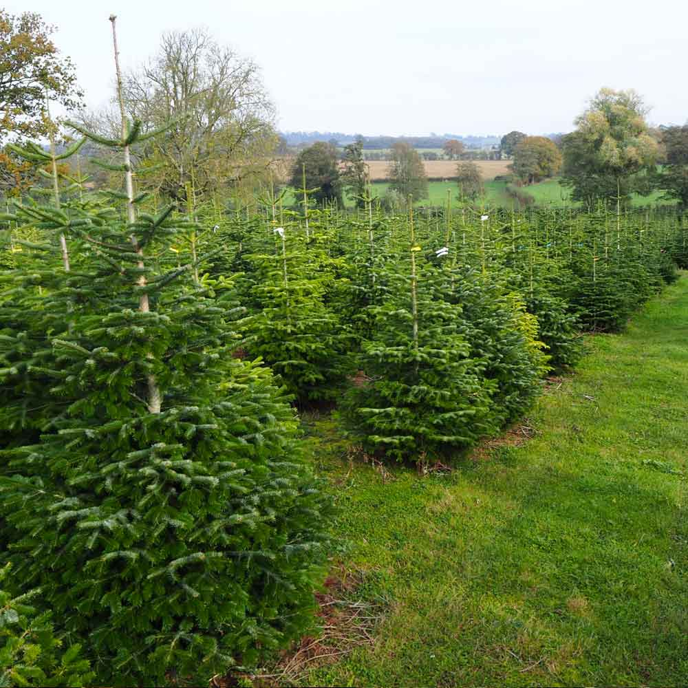 A Field of Nordmann Fir Christmas Trees