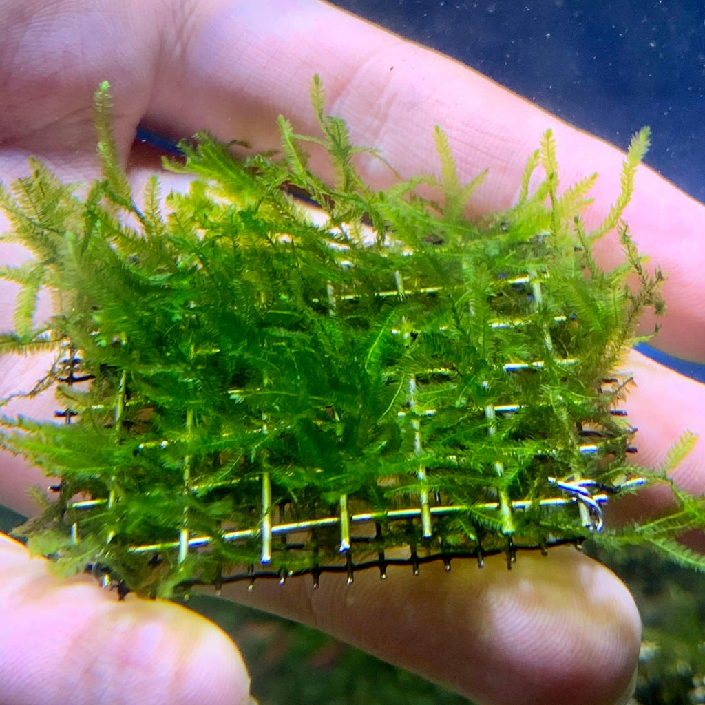Mini Christmas Moss 5cm Tray - Nature Aquariums