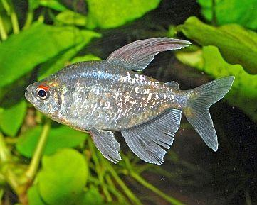 Diamond Tetra 2.5 cm - Nature Aquariums