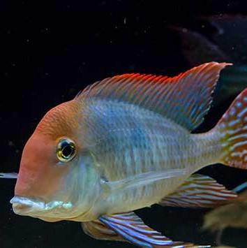 Geo. Red Horseface 4 cm - Nature Aquariums