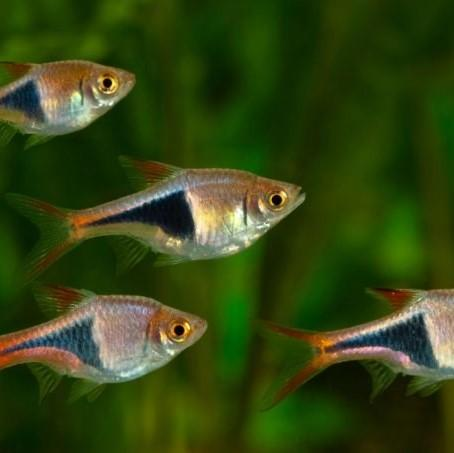 Harlequin Rasbora 2.5 cm - Nature Aquariums