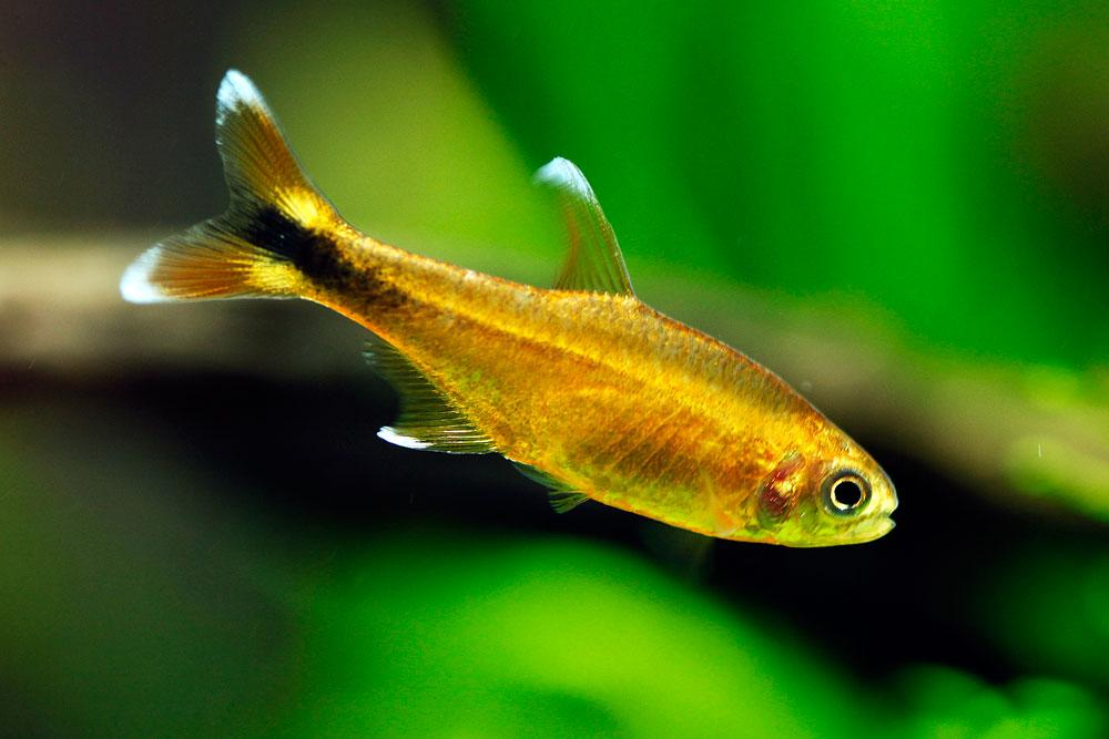 Silver Tip Tetra 3 cm - Nature Aquariums