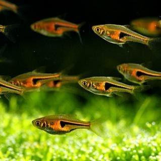 Copper Rasbora 2 cm - Nature Aquariums