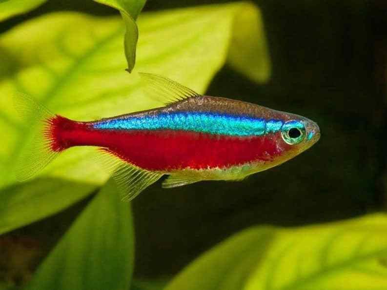 Cardinal Tetra 2.5 cm - Nature Aquariums
