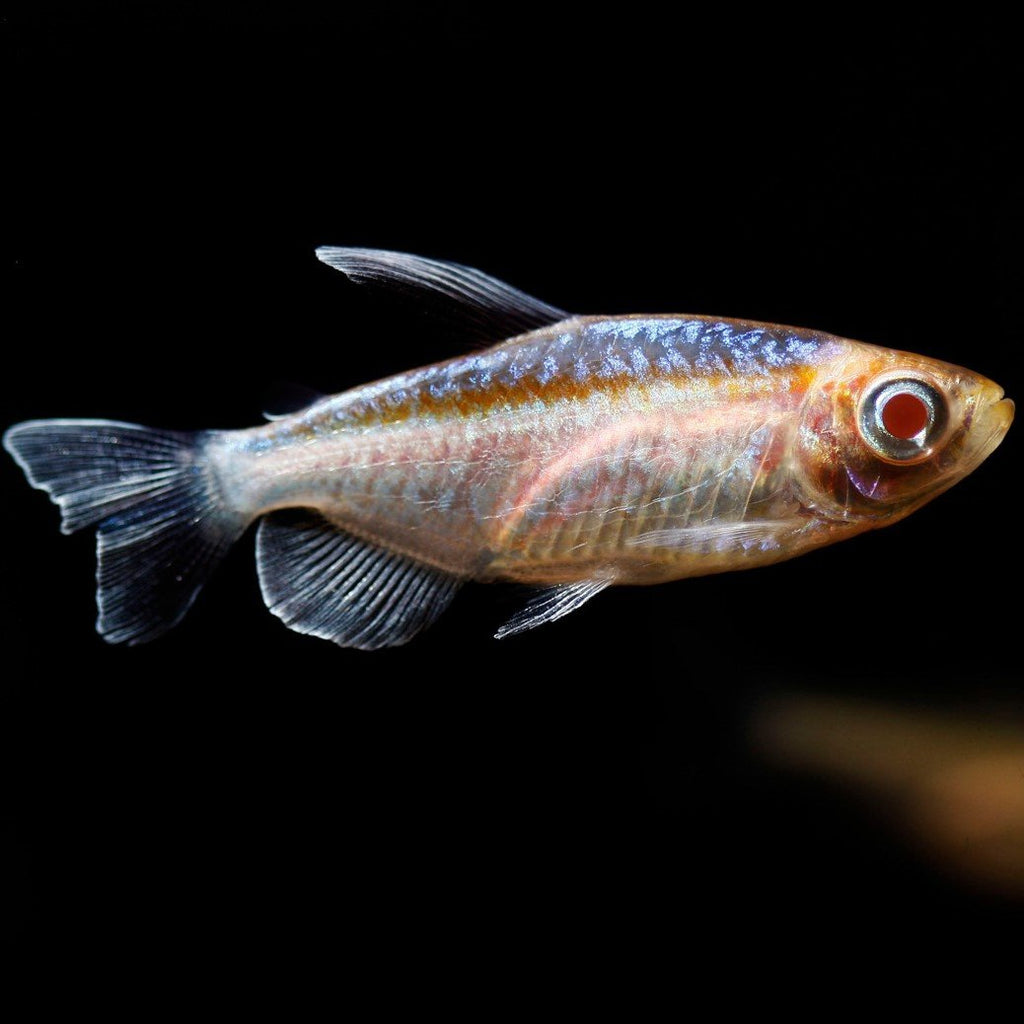 Congo Tetra Albino 4 cm - Nature Aquariums