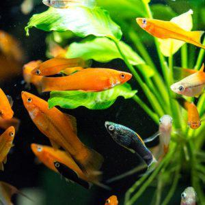 Assorted Swordtails 5.0-6.0 cm - Nature Aquariums