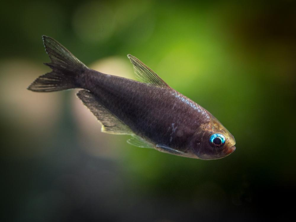 Black Emperor Tetra 3 cm - Nature Aquariums