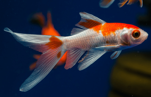 Red and White Comets 6-7 cm - Nature Aquariums