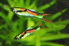 Assorted Endler 2 cm - Nature Aquariums