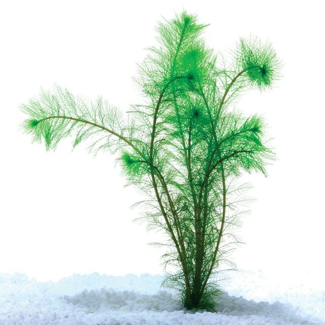 Filigree Milfoil Bunch - Nature Aquariums