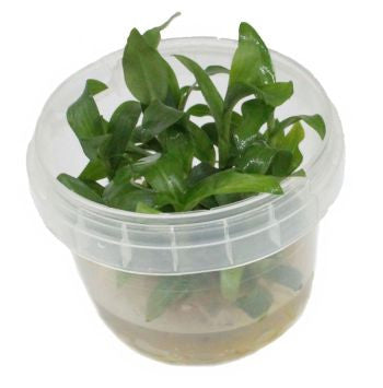 Floscopa scandens Green Mini Bamboo Tissue Culture - Nature Aquariums