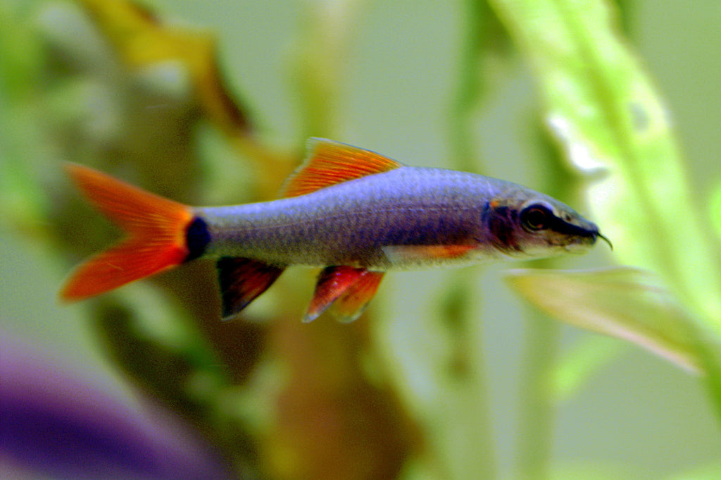 Rainbow Shark 5 cm - Nature Aquariums