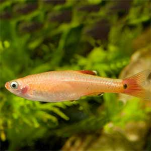 White Cloud Golden 2.5 cm - Nature Aquariums
