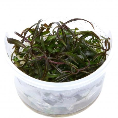 Hygrophila Lancea Tissue Culture 5cm pot
