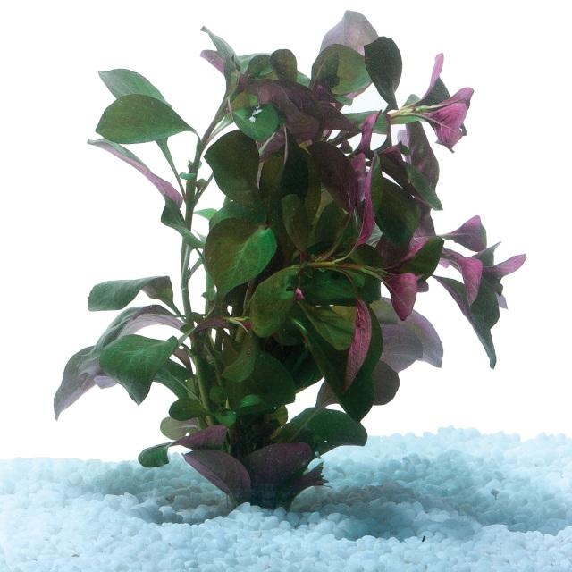 Ludwigia  Bunch - Nature Aquariums