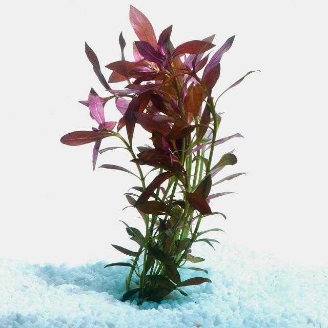 Narrow Ludwigia Bunch - Nature Aquariums