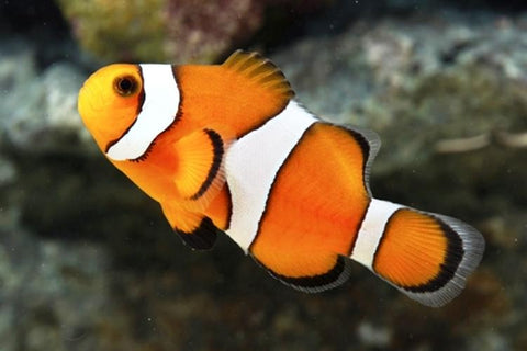 Ocellaris Clownfish Captive-Bred - Nature Aquariums